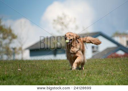 Golden Retriever Runs With Tennis Ball