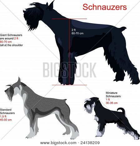 Vector Set Schnauzers of various sizes