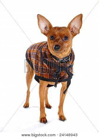 Brown Miniature Pinscher Dog