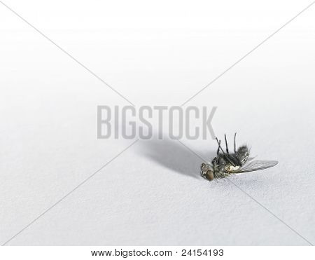 Dead Fly In Light Back