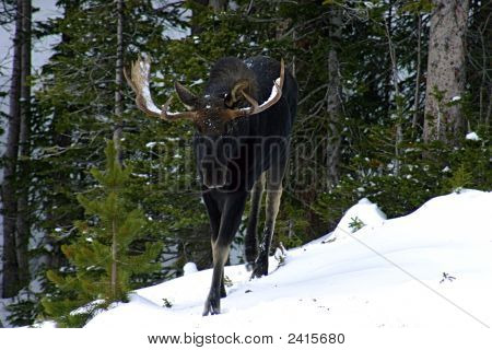 Bull Moose Wandering In Colorado'S Rocky Mountains