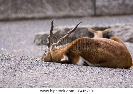 Blackbuck Male