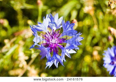Cornflower close-up