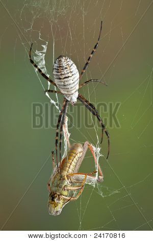 Argiope Spider With Hopper