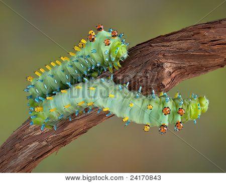 Two Cecropia Caterpillars