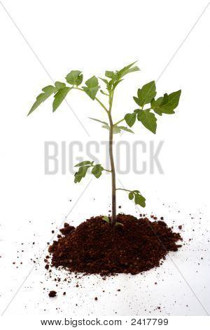 New Life-Tomato Plant