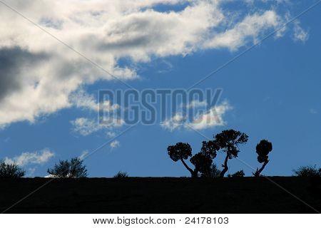 Pinyon Trees Silhouette
