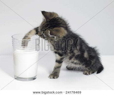 Kitten Fishing For Milk