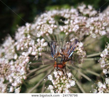 Diptera Fly At Summer Time