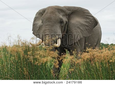 Elephant In High Grass