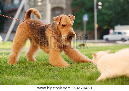 Grown-up airedale terrier playing with white cat on a green lawn