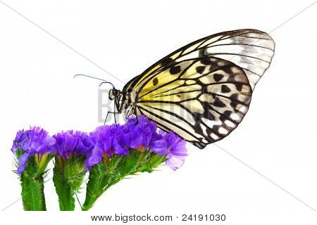 idea leuconoe on violet flower
