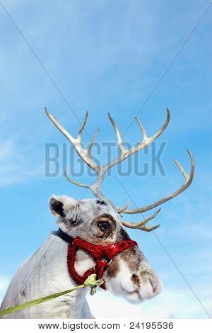Side view of reindeer?s head in harness