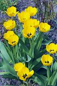 Yellow Tulips On Flower Bed In Garden. Yellow Tulips Planted In Garden. Springtime Garden. Colorful  poster