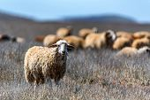 Single White Sheep And Flock Of Sheep Grazing In Background poster