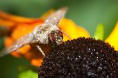 stock photo of blowfly  - Common green bottle fly on a Black Eyed Susan - JPG