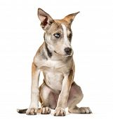 Mixed-breed dog , 3 months old, sitting against white background poster