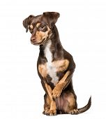 Mixed-breed dog , 1.5 years old, sitting against white background poster