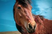 Horse On Nature. Portrait Of A Horse, Red Horse poster