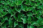 Green Background Fresh Nettle . Stinging Design. Texture..stinging Nettles With Fresh Green Leaves.. poster