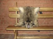 Wolf Skin, Stuffed Wolf Hanging On The Bench Of The Hunters Castle poster