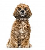 Brown Mixed-breed dog against white background poster