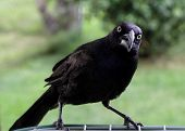 pic of angry bird  - Angry flapping beak black bird - JPG