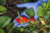 Female Gardener Is Holding Ripe Strawberries In Hand Dressed In Blue Latex Glove. Ripe And Unripe St poster