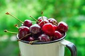 Ripe Organic Freshly Picked Sweet Cherries In Vintage Enamel Mug On Green Foliage Garden Nature Back poster
