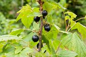Bush Of Black Currant Berries In A Garden. poster