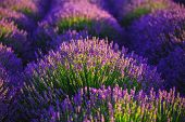 Lavender Flower Blooming Scented Fields In Endless Rows. poster