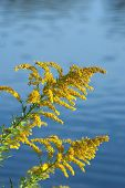 picture of ragweed  - Goldenrod  - JPG