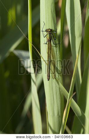 Female Agrion Splendens