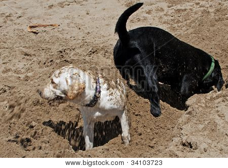 Dogs On Beach, Labrador Getting Sand Thrown On It.