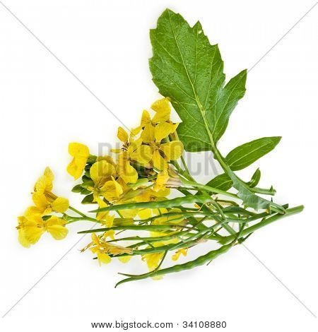 Mustard Flower blossom, Canola or Oilseed Rapeseed,close up , isolated  on white background