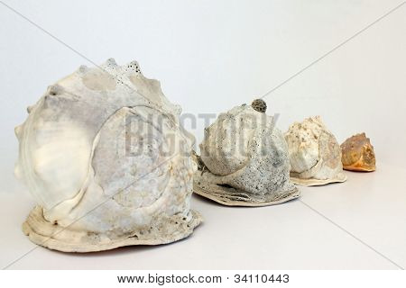 Helmet Conch Shell's