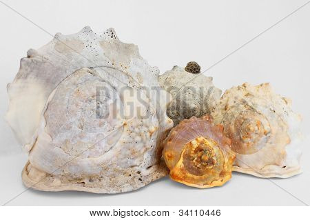 Group Of Conchs