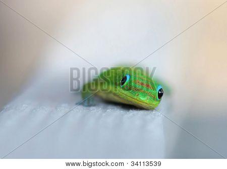 A colorful Hawaiian Gecko