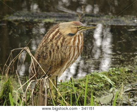 Picture or Photo of An american bittern (botaurus lentiginosus) spotted on a trip to the nisqually wildlife refuge.