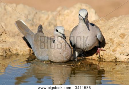 Cape Turtle Doves