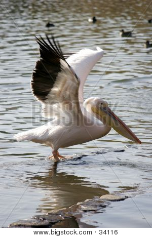 Pelican Spreading Wings