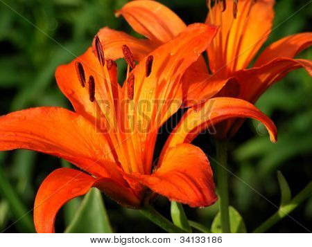 pair orange lilium