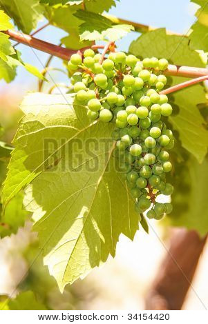 Green Grapes In Vineyard Hanging From Vine