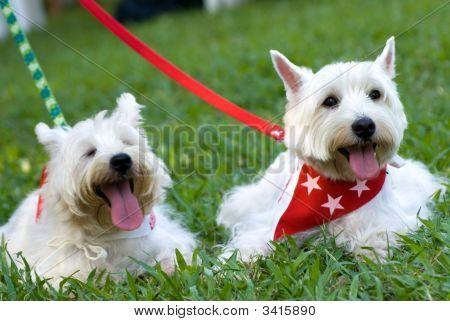 West Hishland White Terrier