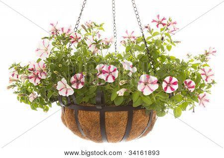 Petunia In Basket