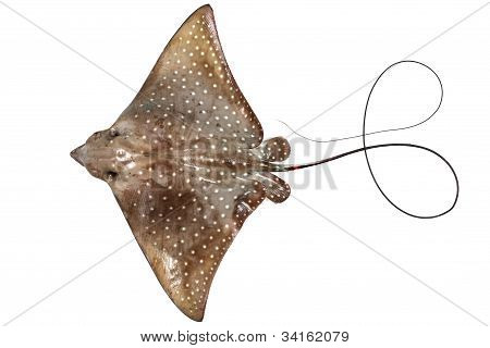 dead eagle ray isolated on white background