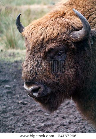 Aurochs Head