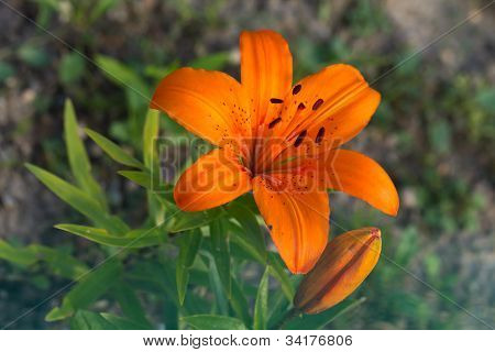 Closeup of a  lilly with a nature background