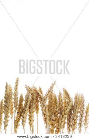 Wheat Base