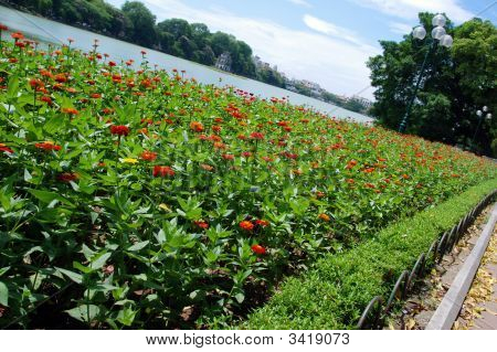 A Bed Of Zinnias